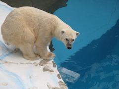 ホッキョクグマのカナちゃん  写真提供‥鹿児島市平川動物公園