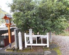 橘本神社境内の1900年前から受け継いできた「タチバナの木」みかんの原木