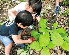 育った柏の葉を採る子どもたち